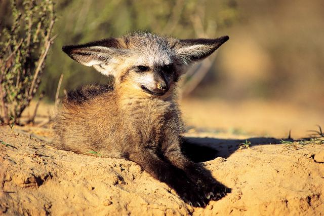 1145907-bat-eared-fox